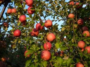 りんご 拡大 複数 画像④